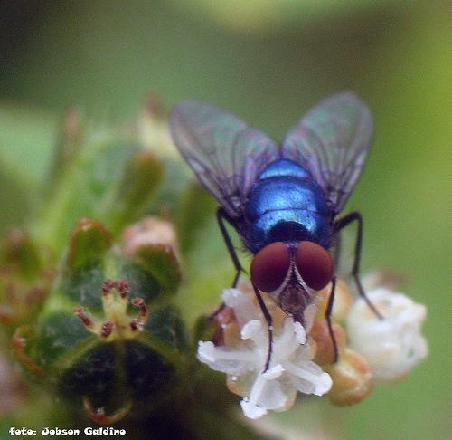 mosca_azul